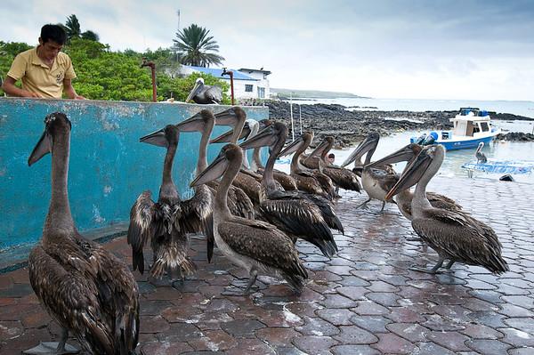 _DSC7954_pelicans_feeding