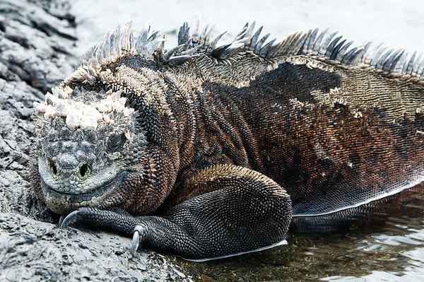 _DSC8101_marine_iguana
