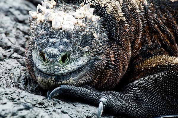 _DSC8102_marine_iguana