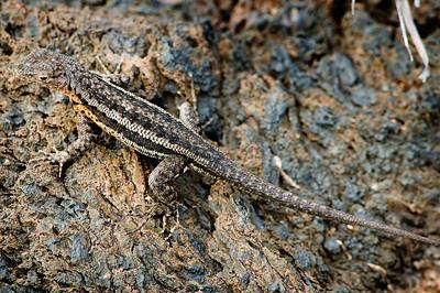 _DSC8041_lizard
