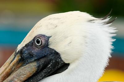 _DSC7934_Pelican