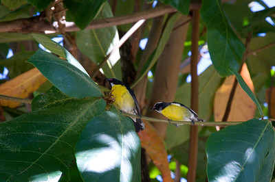 Bananaquit. These little birds are very common.