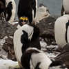 A rogue Macaroni penguin, who might be named Donald, living in the colony of chinstrap penguins