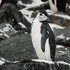 A chinstrap penguin looking me over
