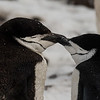 A couple of chinstrap penguins