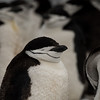 A chinstrap penguin taking a snooze