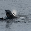 "A humpback whale ""spy hopping"""