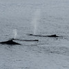 Four humpback whales cruising along together