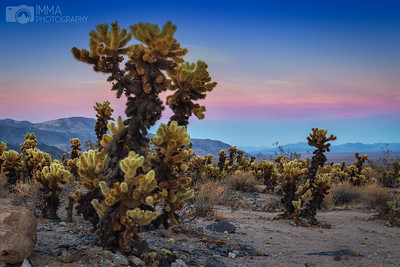Cholla Sunset