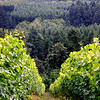 Drew's beautiful shot showing the slope of the Anderson Vineyard.