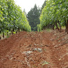 The well-manicured vineyards of Lange winery in the Dundee HIlls' jory soil.