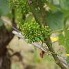 A Chardonnay cluster in Cliff's vineyard.