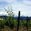 This is a cloudy view of Mt. Hood from the Mt. Hood Winery vineyard.