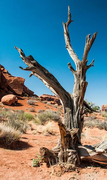 • Location - Arches National Park<br /> • A dead Utah Juniper Tree
