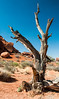 • Location - Arches National Park<br /> • A dead Utah Juniper Tree