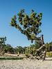 • Location - Off of Interstate 170 in Utah<br /> • Utah Juniper Tree - Juniperus osteosperma