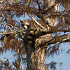 Just taking it easy up a 40 foot tree says the raccoon
