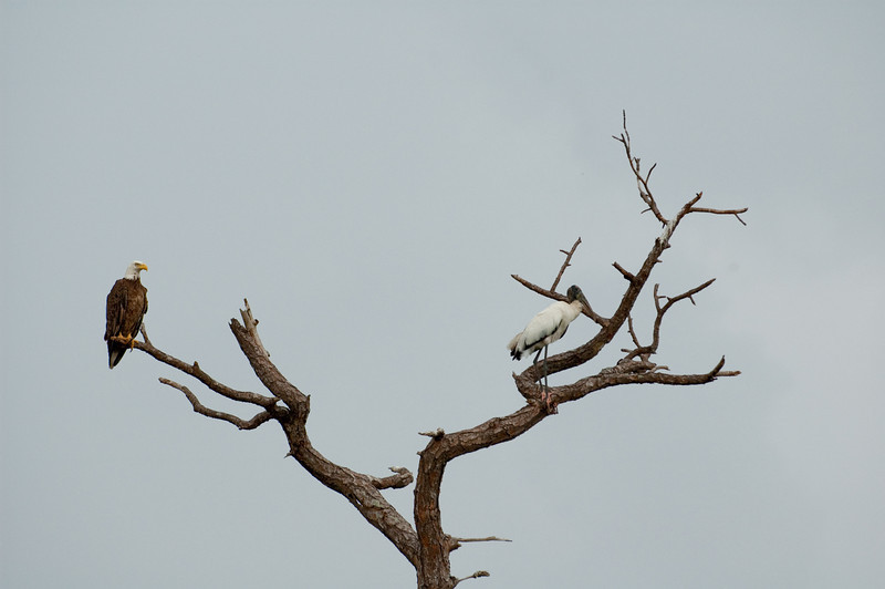 View of Bald Eagle and Wood Stork from the Turner River Road