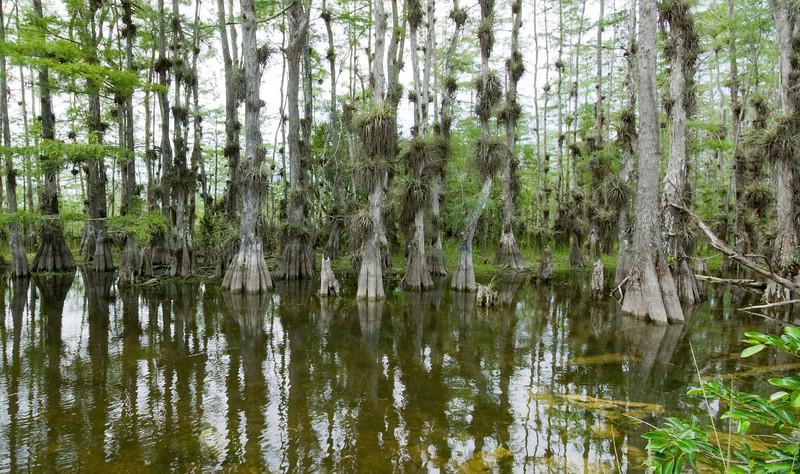 Florida Everglades - Cypress Trees located on Loop Road