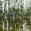 Florida Everglades - Cypress Trees located on Loop Road
