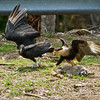 Crested Caracara and Black Vulture fighting over a dead Raccoon