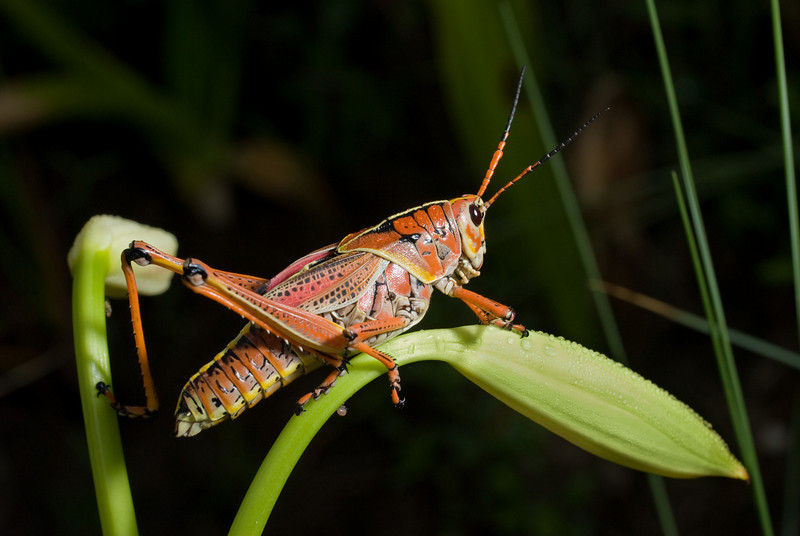 This Southeastern Lubber Grasshopper was on same Swap Lily for about one hour