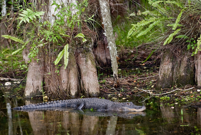 Florida Everglades - Cypress Trees and Alligator located on Loop Road