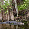 Florida Everglades - Cypress Trees and Alligator located on Loop Road