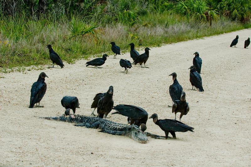 Photographed Black Vultures eating a Alligator