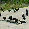 Photographed Black Vultures eating a Alligator