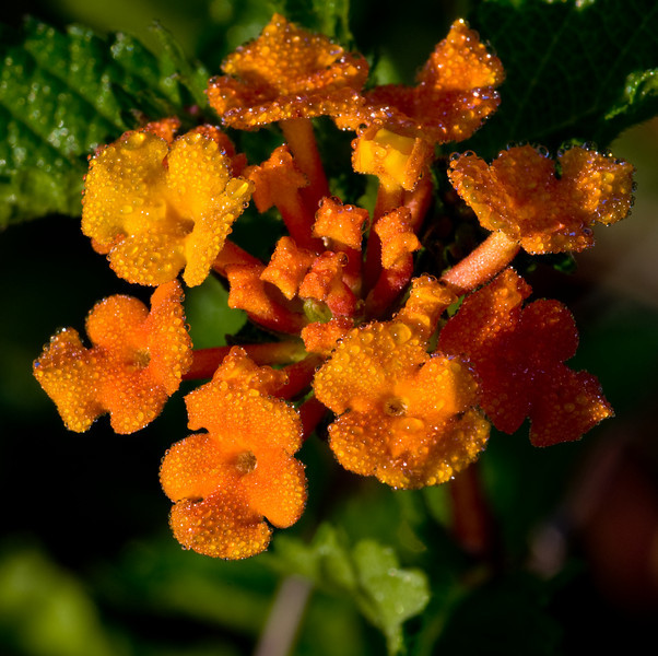 Lantana photographed with early morning dew on them