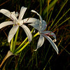 Swamp Lily seen just off the Tamiami Trail