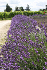 I think most photographers are suckers for a patch of lavender - and it seems to grow everywhere in France.