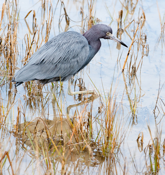 • Pinckney Island National Wildlife Refuge<br /> • Little Blue Heron searching for breakfast