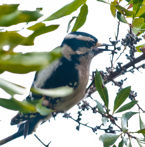 • Pinckney Island National Wildlife Refuge<br /> • Female Downy Woodpecker eating a berry