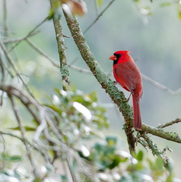 • Pinckney Island National Wildlife Refuge<br /> • Male Northern Cardinal