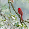 • Pinckney Island National Wildlife Refuge<br /> • Male Northern Cardinal