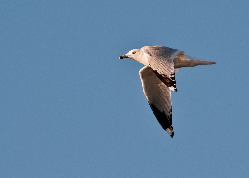 • Cruise on the way back to Calibogue's dock<br /> • Ring-billed Gull in flight