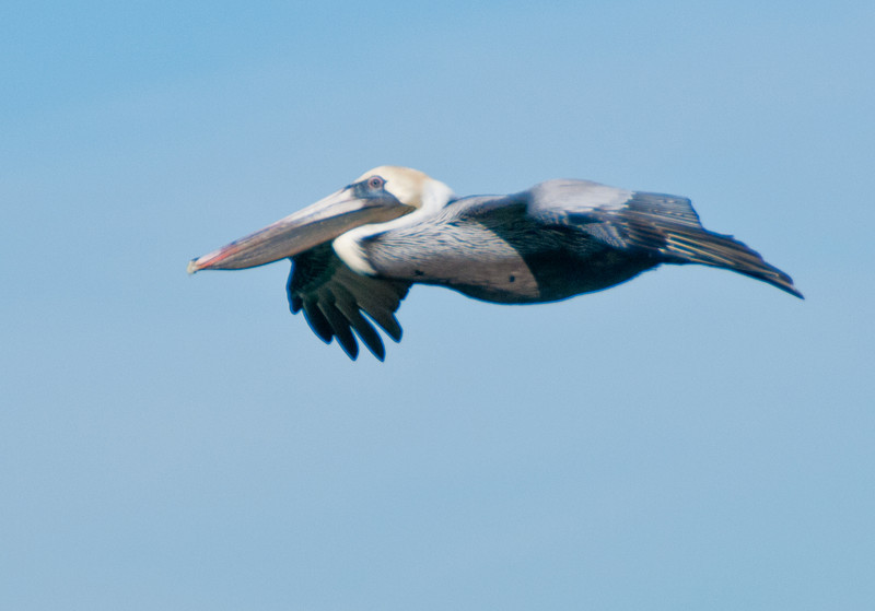 • Harbour Town<br /> • Brown Pelican In flight
