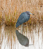 • Pinckney Island National Wildlife Refuge<br /> • Little Blue Heron just hanging around for me to take its photo