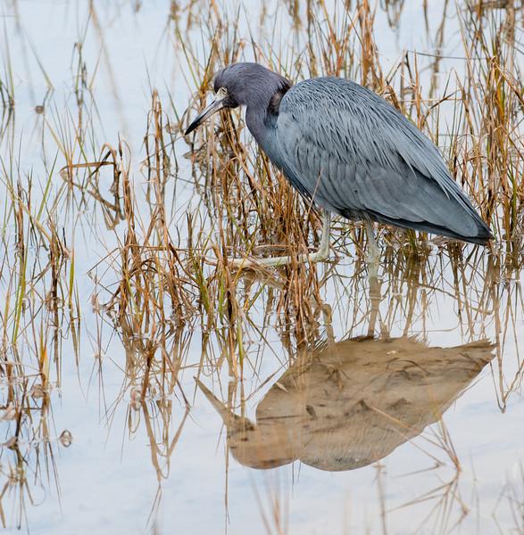 • Pinckney Island National Wildlife Refuge<br /> • Little Blue Heron and its reflection