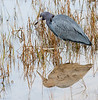 • Pinckney Island National Wildlife Refuge<br /> • Little Blue Heron and its reflection