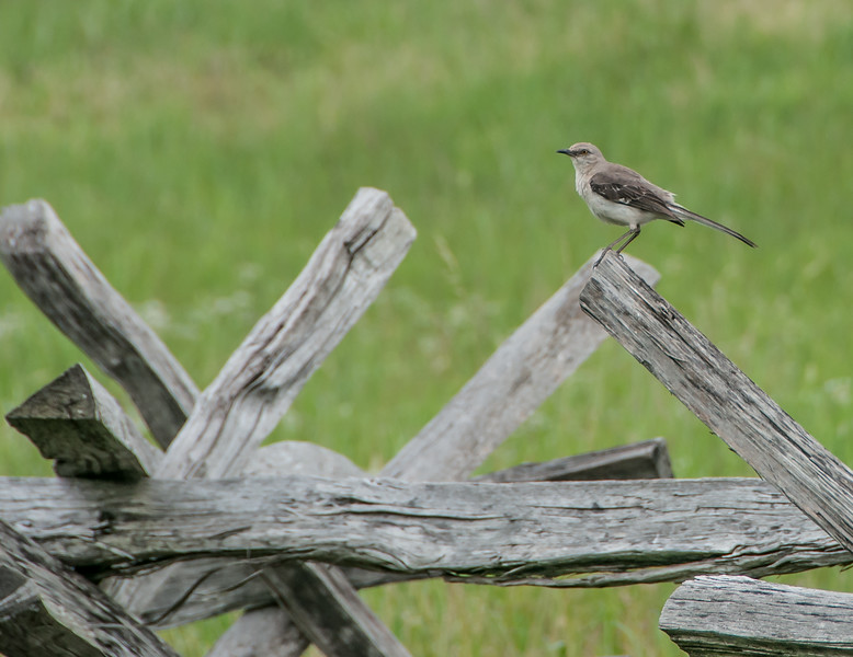 Yes, I captured a Northern Mockingbird standing on the old fence