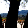The day's second stop was at Robert Mondavi Winery. Drew took this artsy shot of the vineyards from in front of the tasting room.