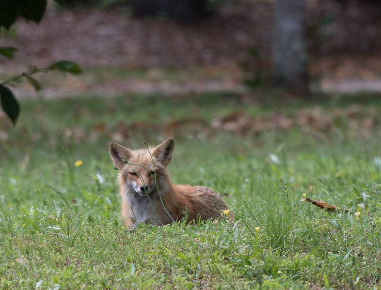 • Location - Airlie Gardens, Wilmington, North Carolina<br /> • Red Fox