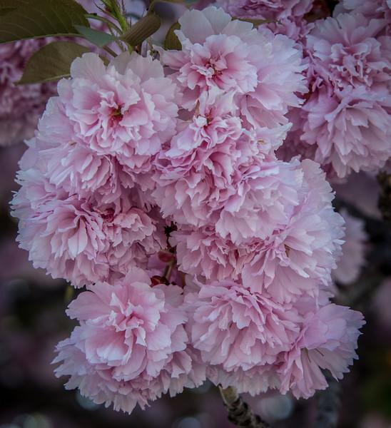 Cherries - Prunus