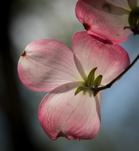 Back-lit Dogwood Tree flower