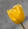 Back-lit Daffodil