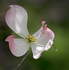 Dogwood Tree flower