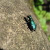 Shiny green bug sunning himself on a rock... It was there on my way down the escarpement, and still there on the way back up. About 3cm long.